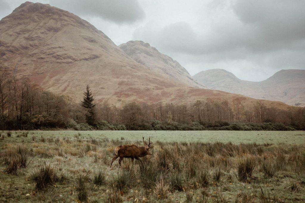 Glen Etive wild deer